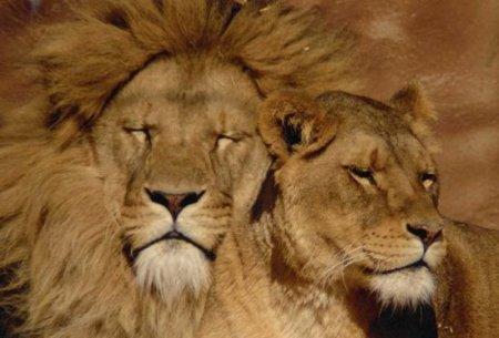 Сколько лет живут львы